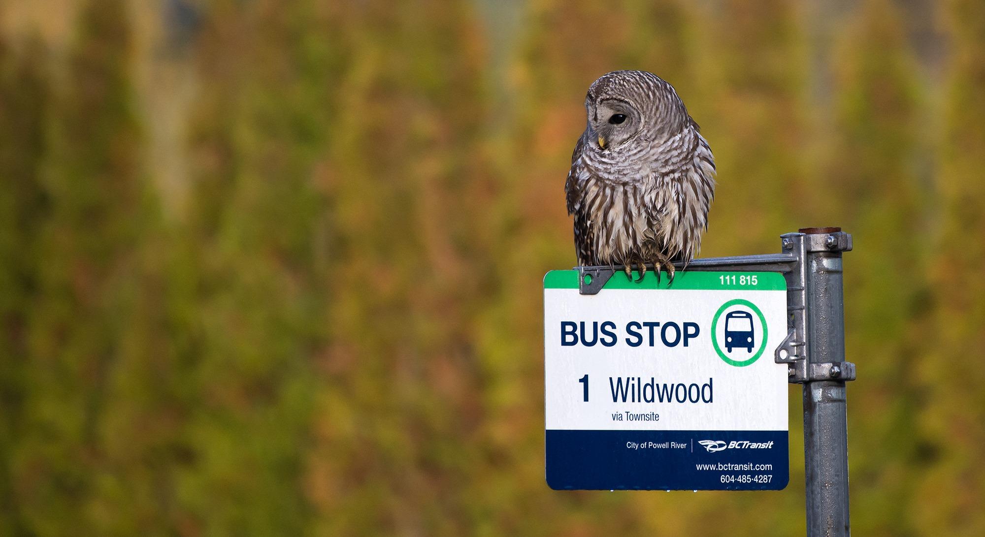 owl-wildwood-robert-colasanto